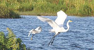 White egrets lake apopka