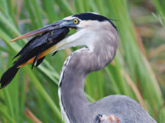 great blue heron Lake Apopka Wildlife Drive